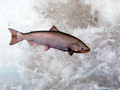 Cómo pescar salmones