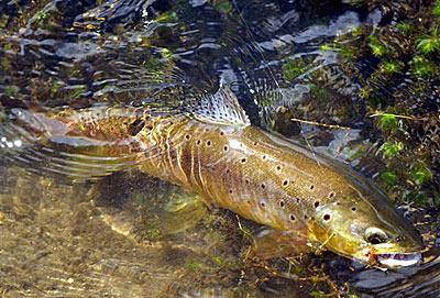Cómo pescar truchas